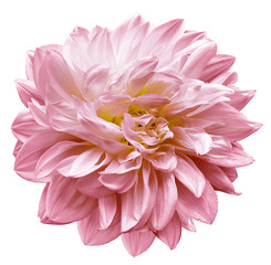 Türaufkleber Dahlie pink flower dahlia on white isolated background with clipping path. Closeup. For design. Nature.