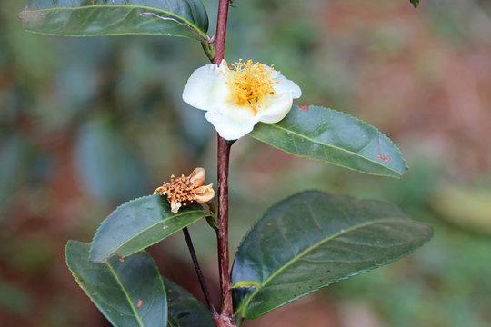 tea tree - plateau des bolovens - laos