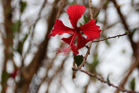 hibiscus - plateau des bolovens - laos