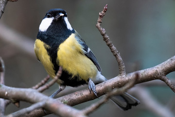 Great tit in the woods