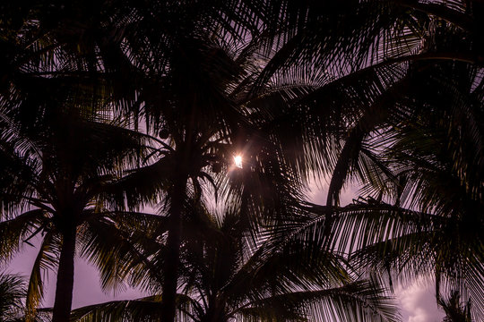 Beautiful Cocos nucifera palms with a group of coconuts is on the pink sunset sky background