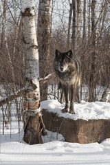 Wall Mural - Black Phase Grey Wolf (Canis lupus) Posed Atop Rock Winter