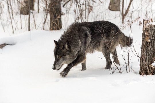 Black Phase Grey Wolf (Canis lupus) Creeps Out of Woods Winter