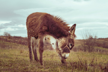 Dirty donkey on the field in nature in autumn or winter day against a gray sky