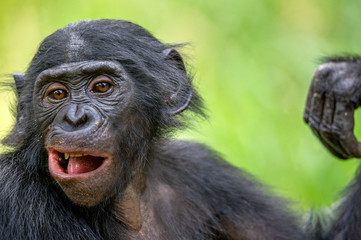 The close up portrait of Bonobo (Pan Paniscus) on the green natural background. Democratic Republic of Congo. Africa
