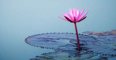 Garden Poster Lotus flower beautiful pink Lotus Flower with green leaf in in pond,copy space for text