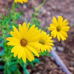 Three ripe yellow flowers