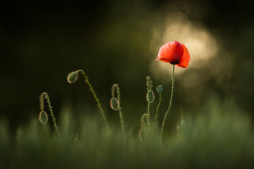 Photo sur Toile Poppy Spring flower in the grass, natural environment, isolated, Europe, blossom beauty