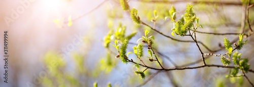Wall mural New buds in springtime with young leaves on green spring background.