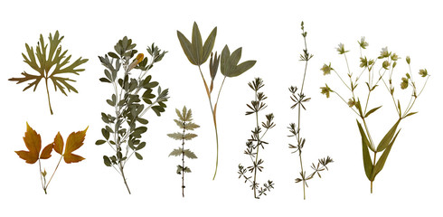 Dry pressed wild flowers and plants isolated on white background. Botanical collection