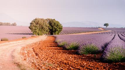 Provence, Southern France. Lavender field in bloom. Valensole