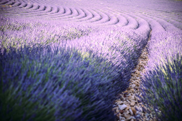 Provence, Southern France. Curved Lavender field in bloom. Valensole