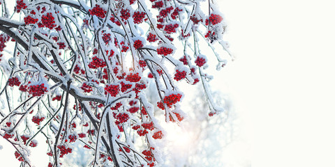 Rowan tree in snow. beautiful winter background. bunches of Red rowan berries covered with snow. winter scene with frozen trees. new year and christmas time. copy space