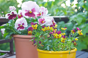 Foto op Aluminium Pansies Pink, purple and yellow tufted and garden pansy plants in 2 pots on a balcony table, copy space.
