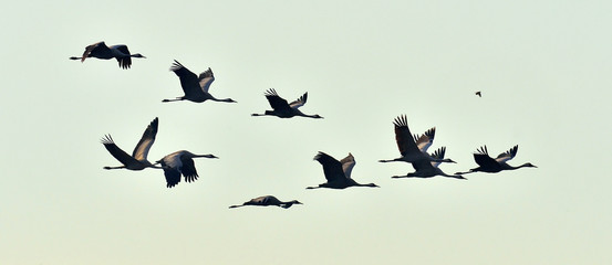 Birds in flight. A silhouettes of cranes in flight. Flock of cranes flies at sunrise. Foggy morning, Sunrise sky  background. Common Crane, Grus grus or Grus Communis, big bird in the natural habitat. Fotomurales