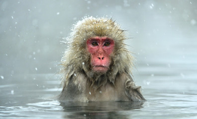 Poster de jardin Singe Snow monkey in natural hot spring. The Japanese macaque ( Scientific name: Macaca fuscata), also known as the snow monkey.
