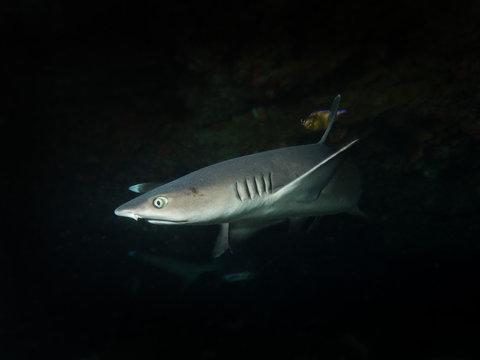 white tip reef shark  - bali