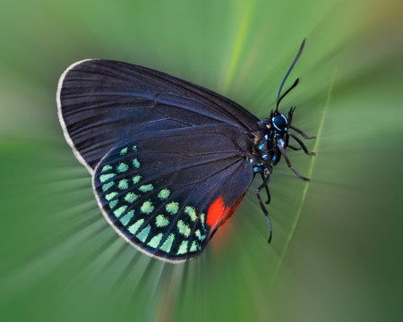 Close up of Atala Butterfly shedding radial light on green leaf