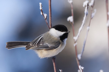 Black-capped Chickadee on a Cold Winters Day Fotomurales