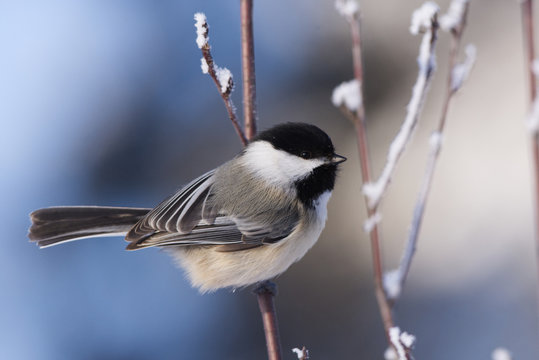 Black-capped Chickadee on a Cold Winters Day