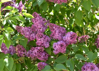 Spoed Foto op Canvas Lilac Beautiful blooming lilac bush in spring.