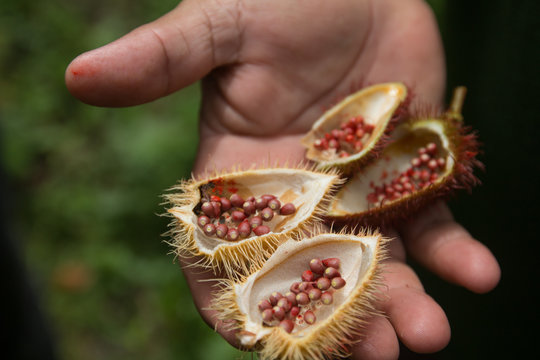Achiote tree with Annatto fruits and pink flower, Amazon region, Brazil, South America