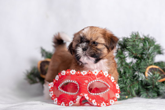 Shih Tzu puppy on white background with Christmas decorations. Christmas decor.