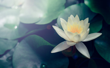 Foto op Aluminium Waterlelies Vivid water lily blooms in garden pond; waterlily close up