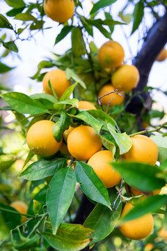 Citrus fruit growing on tree