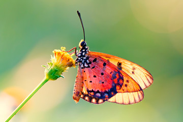 butterfly on the flower in early morning