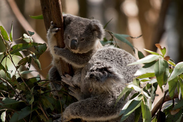 Photo sur Aluminium Koala the joey koala is next to his mother