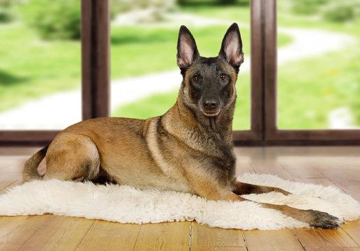 Pedigree Belgian shepherd dog Malinois dog lying on a fur rug on the living room floor