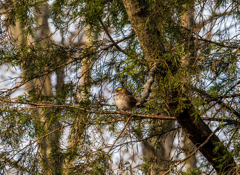 White Throated Sparrow in the Tree