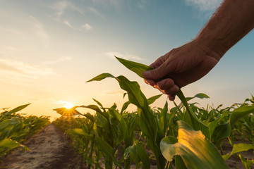Farmer is examining corn crop plants in sunset