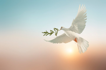 Wall Mural - white dove or white pigeon carrying olive leaf branch on pastel background and clipping path and international day of peace