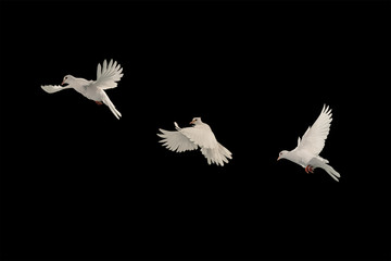 Foto En Lienzo - Three White doves flying on black background and Clipping path .freedom concept and international day of peace