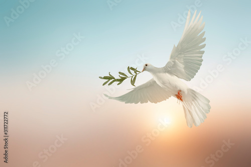 Canvas Prints white dove or white pigeon carrying olive leaf branch on pastel background and clipping path and international day of peace