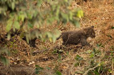 Leopard cub at Masai Mar, Kenya Wall mural