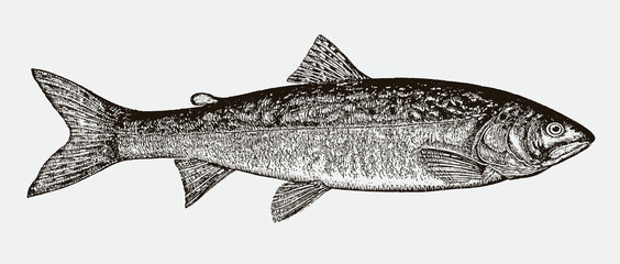 Lake trout salvelinus namaycush in side view after a historical engraving from the 19th century Fotomurales