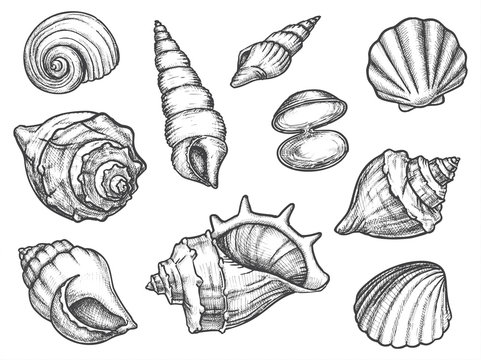 Set of isolated seashell sketches or conch, shell