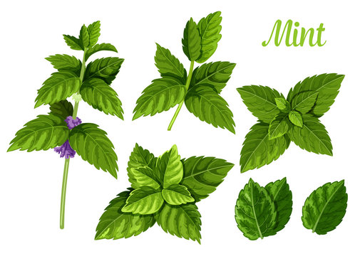 Mint leaves or peppermint leaf, green spearmint