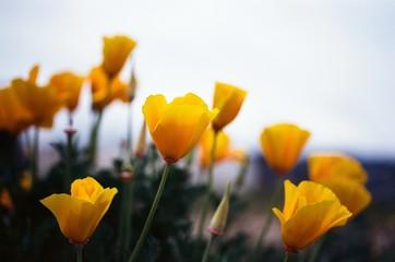 california poppies on film