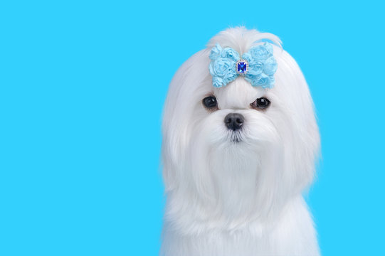 Head shot of pretty white maltese dog against blue background