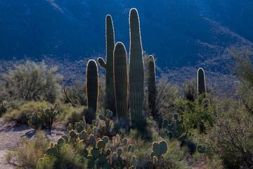 Recess Fitting Gray traffic Saguaro cactus at sunset