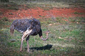 Foto auf AluDibond Straus avestruz