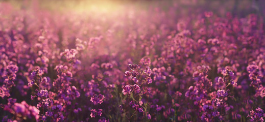 Keuken foto achterwand Lavendel Evening summer meadow with the beautiful purple wildflowers in the sunset