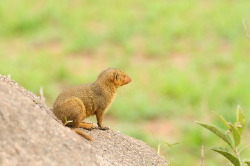 Common Dwarf Mongoose (Helogale parvula) on a termite hill