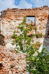 Rowan tree grown on brick ruins. Russia, Obninsk, Belkino estate