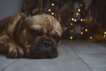Tuinposter Franse bulldog Sleepy puppy of french bulldog on the lights backgroung