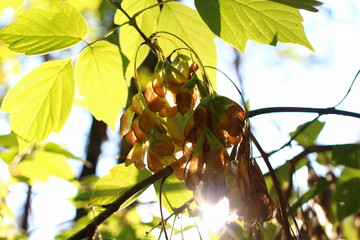 Samara of the Box elder maple (Acer negundo) in the bright sun